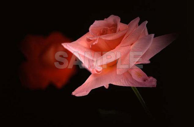 Rose05