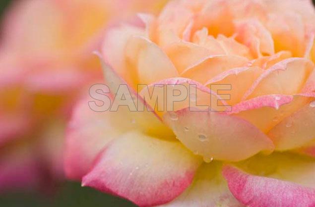 Rose07