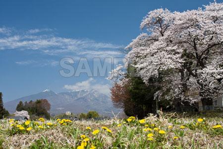 Sakura6393