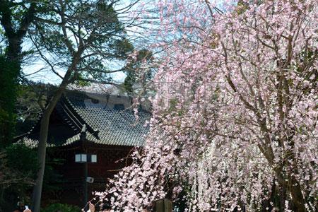 Sakura7218